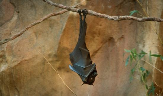 Bat at Disney's Animal Kingdom