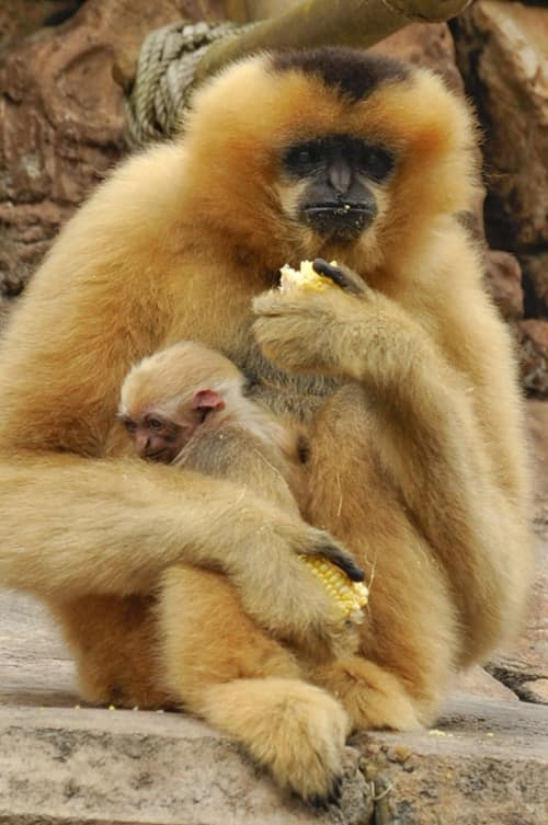 Disney's Animal Kingdom Welcomes Baby White-Cheeked Gibbon