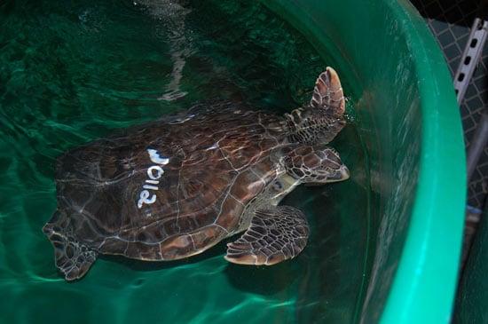 Endangered Sea Turtles Rescued