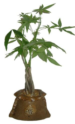 Elemental Nursery has created a line of contemporary bonsai