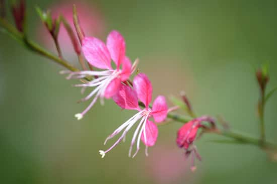 Gaura Lindheimeri, or Whirling Butterfly