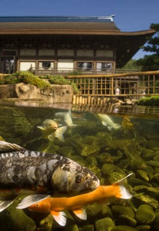 Koi pond at Epcot's Japan Pavilion by Kent Phillips