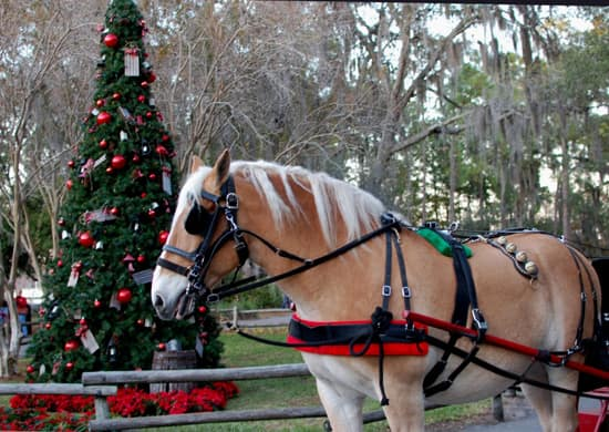 Luke, a 10-year-old Belgian horse, is dressed up for the season in sleigh bells