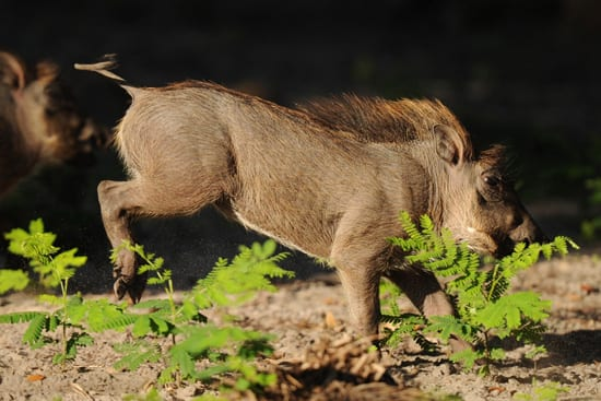 A Warthog Playing on the Kilimanjaro Safaris at Disney's Animal Kingdom