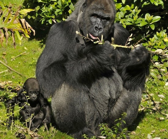 Lilly, An Endangered Western Lowland Gorilla and Her Mother, Kashata, By: Gene Duncan