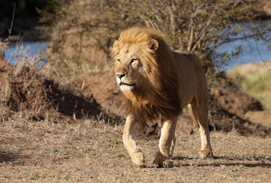 A Lion at Disney's Animal Kingdom