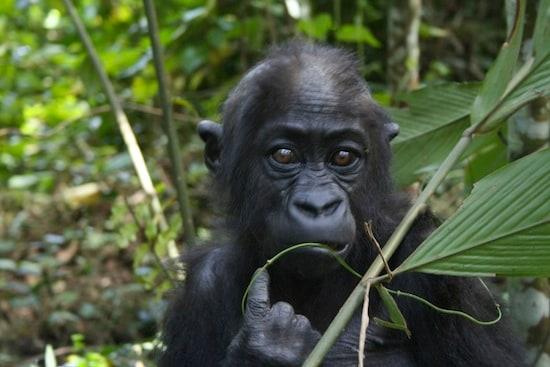 Wildlife Wednesdays: Protecting Wildlife and Nature in Africa: Gorillas