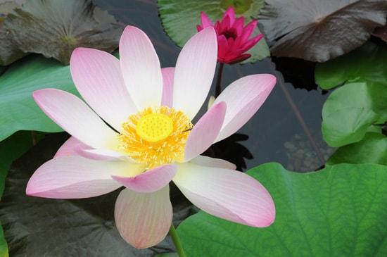 Lotus Blossoms at Epcot's China Pavilion