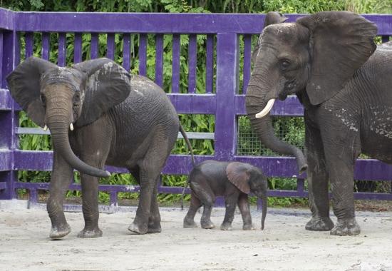 Baby Elephant Receives Warm Welcome at Disney's Animal Kingdom