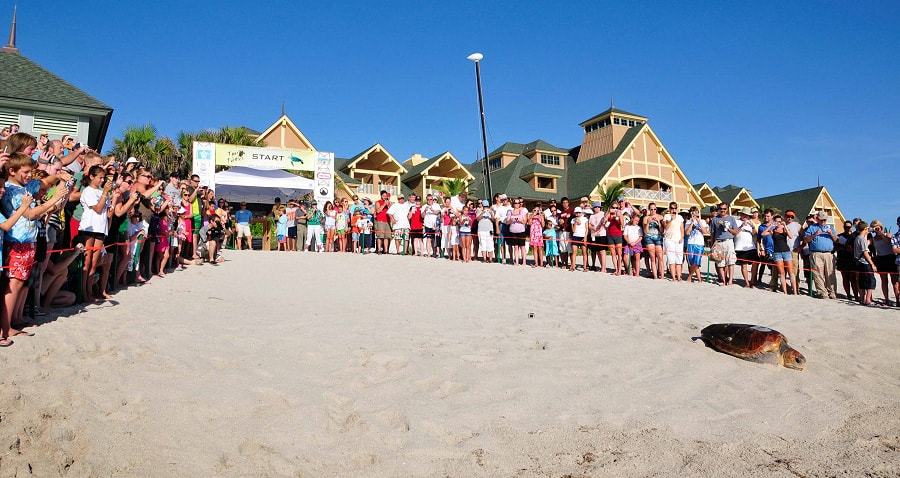 Guests At Disney S Vero Beach Resort Watch Loggerhead Sea Turtles Return To