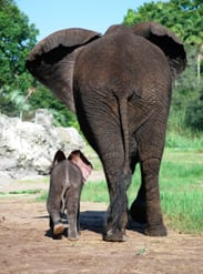 Baby Elephants Jabali and Luna Are Becoming the Best of Friends at Disney's Animal Kingdom