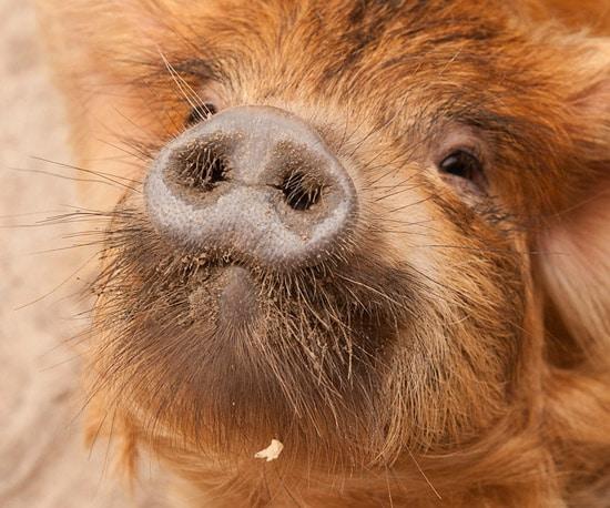 Kunekune Pigs at Disney's Animal Kingdom