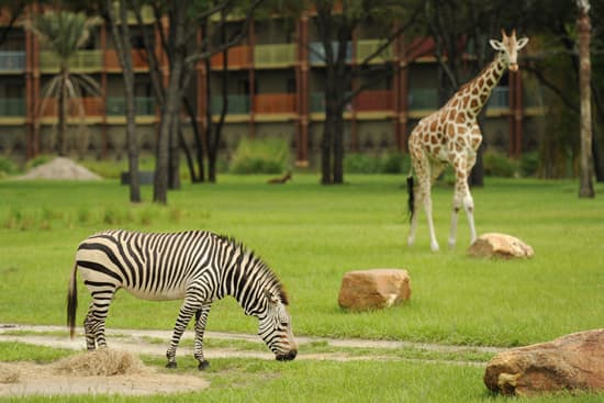 Hartmann's Mountain Zebras at Disney's Animal Kingdom