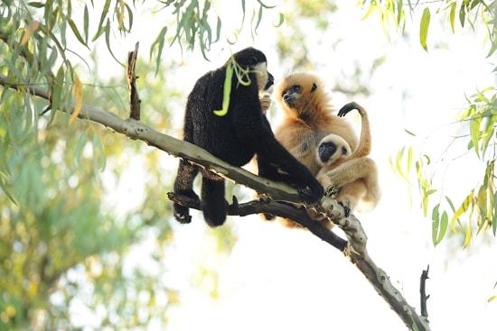 White-Cheeked Gibbons at Disney's Animal Kingdom