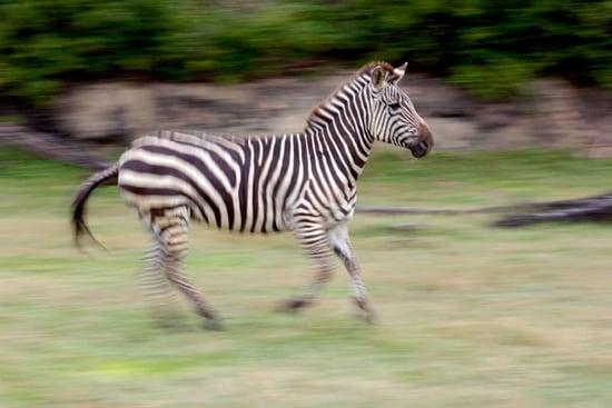 Grant's Zebras at Disney's Animal Kingdom