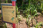 Sugar Cane in the Creole Garden