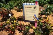 Coffee Plants in the Creole Garden