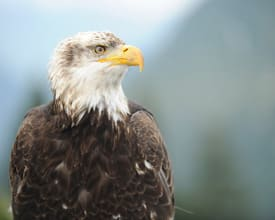 Bald Eagles Spotted from the Disney Wonder While Sailing in Alaska