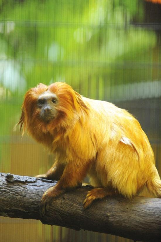 See the Endangered Golden Lion Tamarin at Rafiki's Planet Watch at Disney's Animal Kingdom