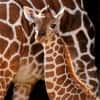 Baby Giraffe at Disney's Animal Kingdom at Walt Disney World Resort