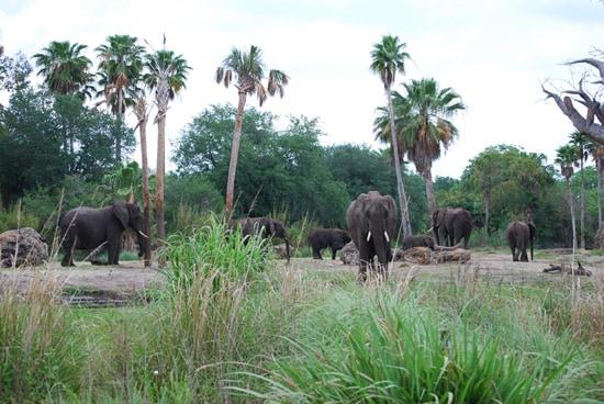 Elephant Herd at Disney's Animal Kingdom at Walt Disney World Resort
