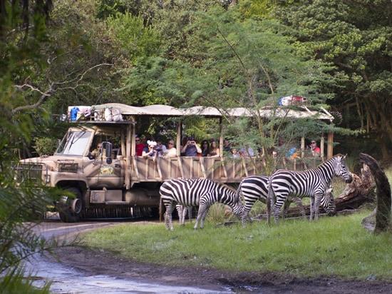 Zebras on the New Kilimanjaro Safaris Savanna at Disney's Animal Kingdom