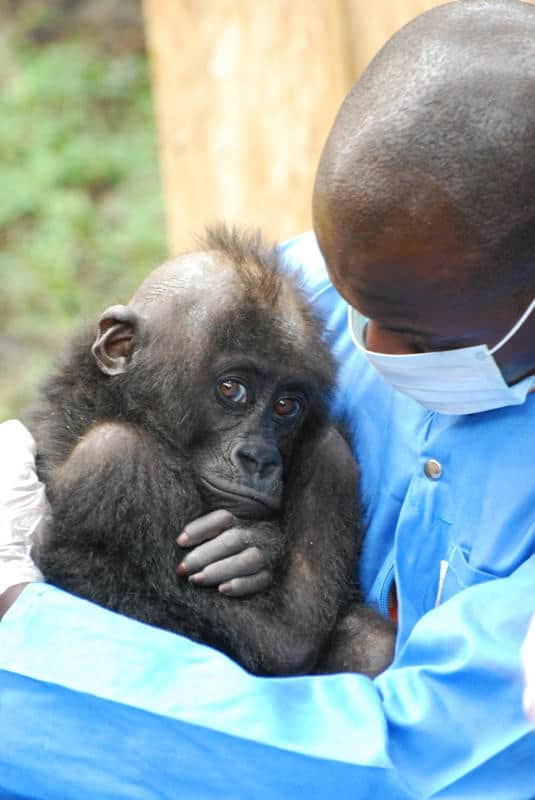 Orphaned Gorillas in Africa Under Watchful Care at Rehabilitation and Conservation Center Supported by Disney