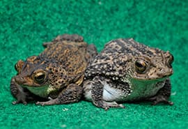 Puerto Rican Crested Toads- Featured on the New Rafiki's Planet Watch Film