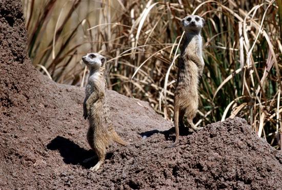 Caption This: Meerkats at Disney's Animal Kingdom