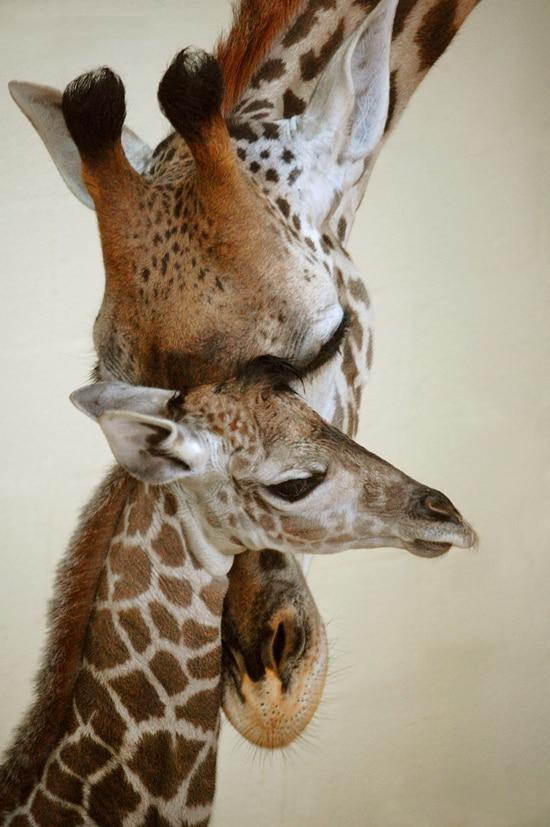 Vote To Name the First Masai Giraffe Born at Disney's Animal Kingdom