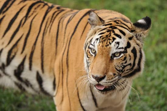 Tiger at Disney's Animal Kingdom - this Magnificent Animal is the Largest of all Cats