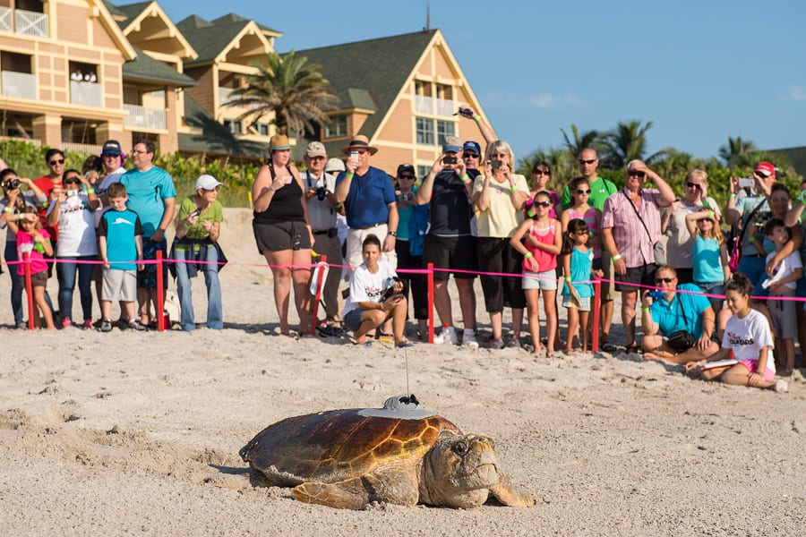 Sea Turtles Facing Monstrous Challenges Return To The Cheered On By Disney S Vero