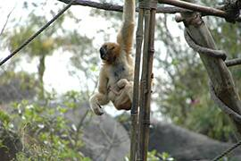 Infant white-cheeked gibbon and its mother