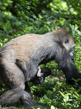 Yet-To-Be-Named Baby Male Gorilla at Disney's Animal Kingdom