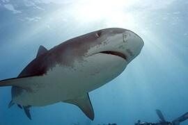 Wildlife Wednesday: Celebrating Shark Conservation for Shark Week. Photo Credit: Neil Hammerschlag, R.J. Dunlap Marine Conservation Program, University of Miami