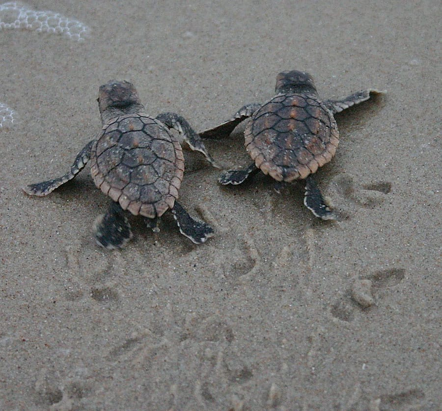 Sea Turtle Hatchlings At Disney S Vero Beach Resort