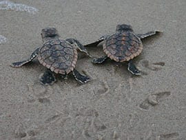 Sea Turtle Hatchlings at Disney's Vero Beach Resort
