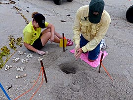 Disney Sea Turtle Biologists Counting the Eggshells After Anna's Nest Hatched