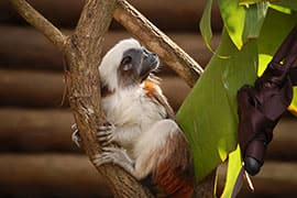 Cotton-top Tamarin Draco at Disney's Animal Kingdom