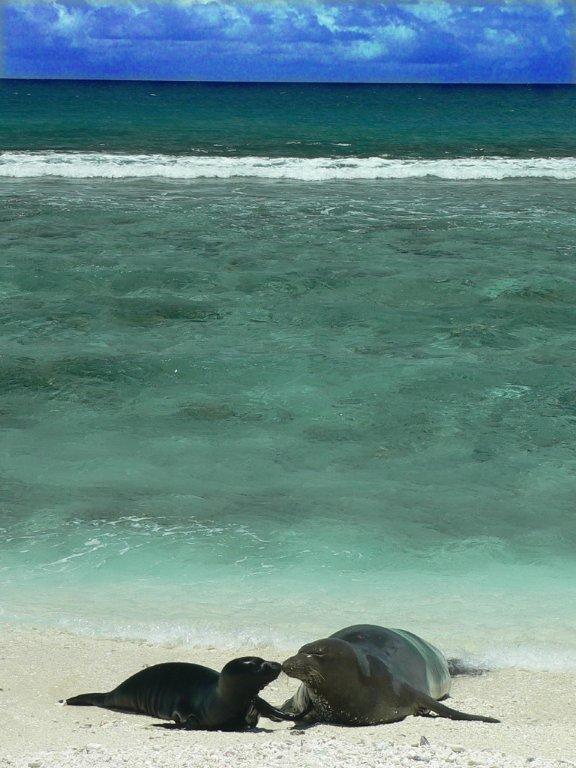 Hawaiian Monk Seals at The Marine Mammal Center
