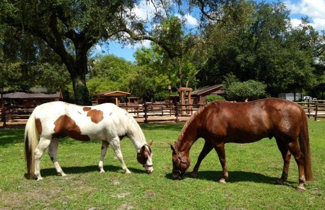 Wildlife Wednesday Adopt A Retired Horse Through The Disney Equine