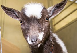 Vote to Name Our New Baby Boy Goat at the Disneyland Resort