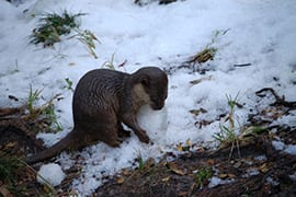 This Asian-Small Clawed Otter Looks Like he's Making Snow Balls