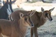 Sable Antelope Calves at Disney's Animal Kingdom
