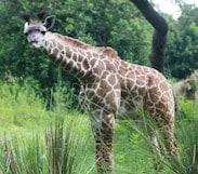 This Week in Disney Parks Photos: Three Baby Giraffes Debut at Disney's Animal Kingdom