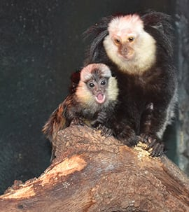 New Baby Marmoset at Disney's Animal Kingdom