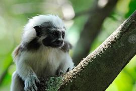 Wildlife Wednesday: Happy Year of the Monkey - Cotton Top Tamarins