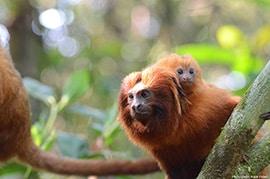 Wildlife Wednesday: Happy Year of the Monkey - Golden Lion Tamarins