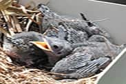 Purple martin chicks hatch in 14-16 days and will grow up very quickly! By 28-32 days-old, they are ready to fledge and take their first flight.