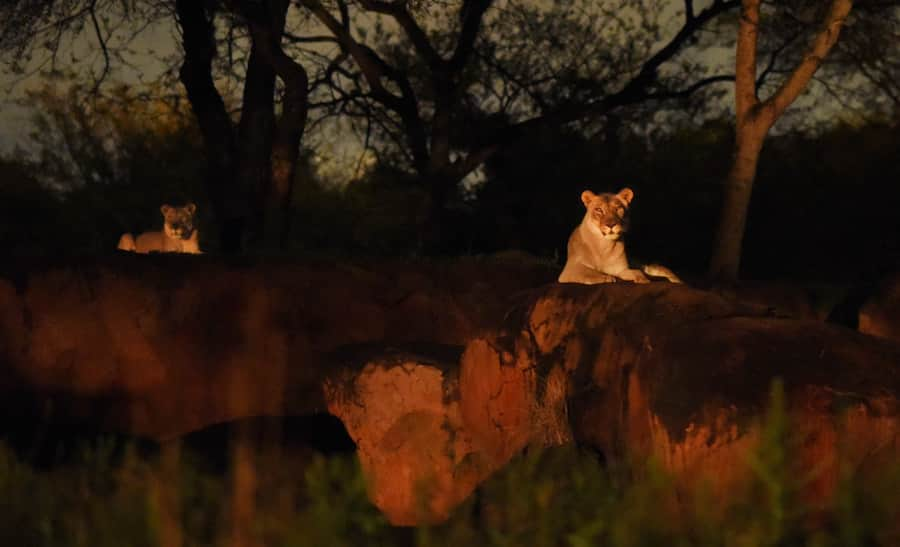 Kilimanjaro Safaris at Disney's Animal Kingdom at Night
